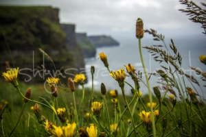yellow flowers at cliffs-wm